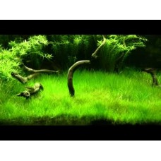 Dwarf Hairgrass (Short) 1 Bunch (100 stems)