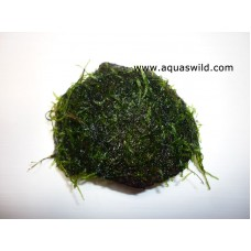 Java Moss on Coconutshell- Small Portion