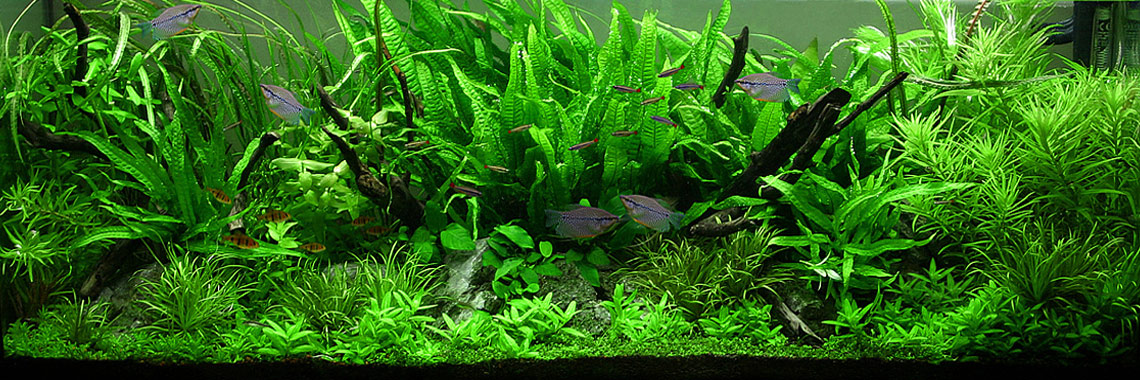 Aquaswild World Of Live Aquatic Plants Aquarium Plants